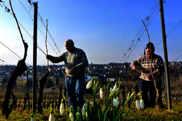 Vineyard management at Weingut Robert Weil