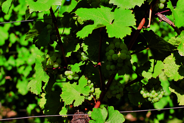 Start of grape ripening (veraison) on August 24, 2013
