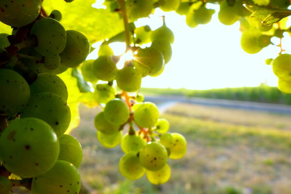 Our Riesling grapes are growing up!